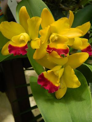 Yellow and purple Cattleya at Orchid World Barbados by garden muses-not another Toronto gardening blog