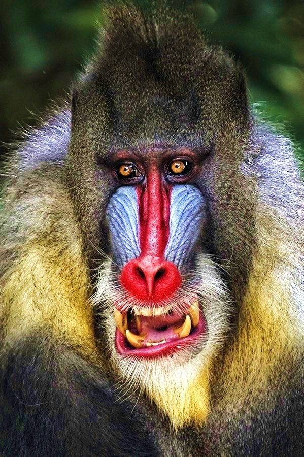 Awesome Baboons Looks Like Clown From It Tiere Tierbilder Pavian
