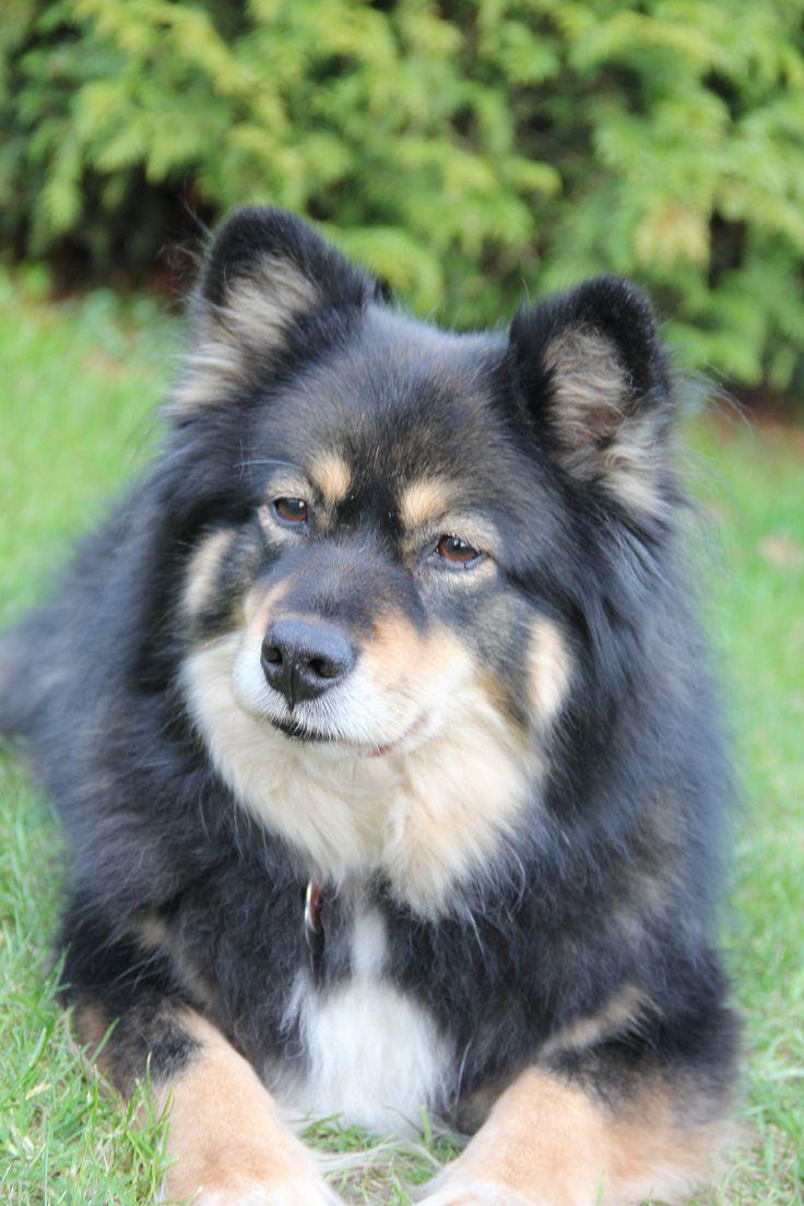 Finnish Lapphund Silja Elsaari ...mijn hond...foto gemaakt door Elly Brugman