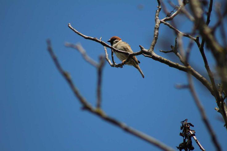 Eurasian Tree Sparrow (Passer montanus) - Vrabec poľný