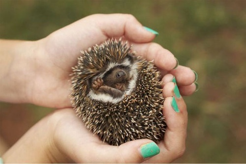 .Animal Pictures, Pets, Pics Pics, Baby Hedgehogs, Hedges Hog, Funny Animal, Animal Pinterest, Adorable Hedgehogs, Cuuut Things