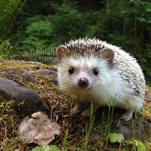 hungariansoul:   creatures-alive:  (via biddythehedgehog on Instagram)  ♥