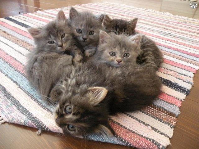 Långhåriga kattungar II
