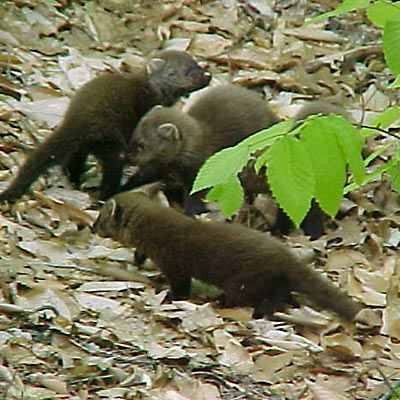 a litter of baby Maine Fisher Cats