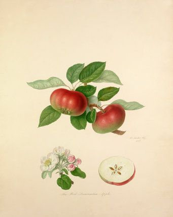 The Red Quarenden Apple