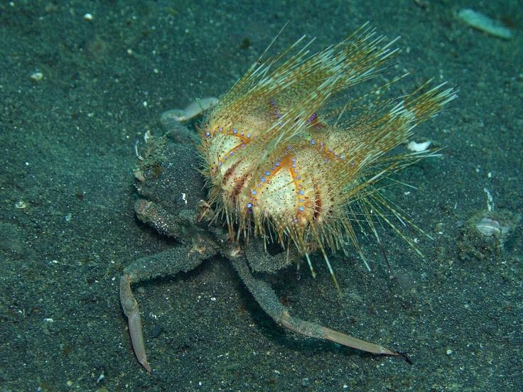 sea urchin and crab symbiotic relationship