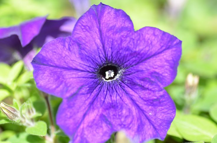 Petunia hybrida Sanguna 'Cobalt Blue'