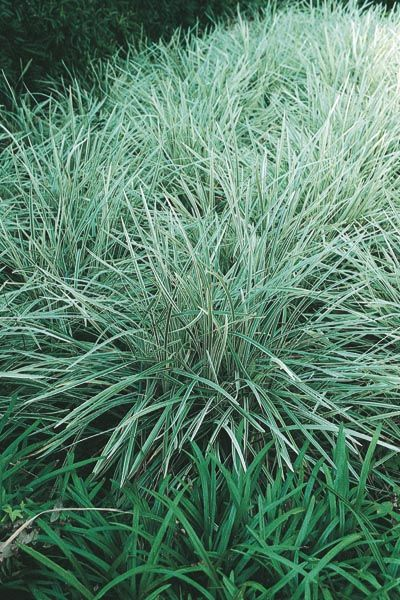 Aztec grass monrovia aztec grass great variegated for Ornamental grass bed design