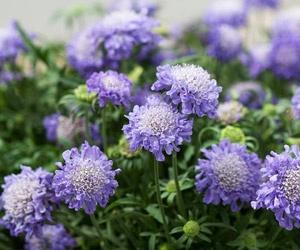 Butterfly Blue Pincushion Flower (escabiosa menor or scabiosa columbaria)