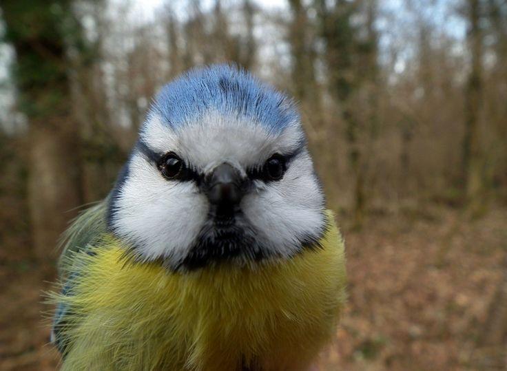 Blue tit-Blaumeise