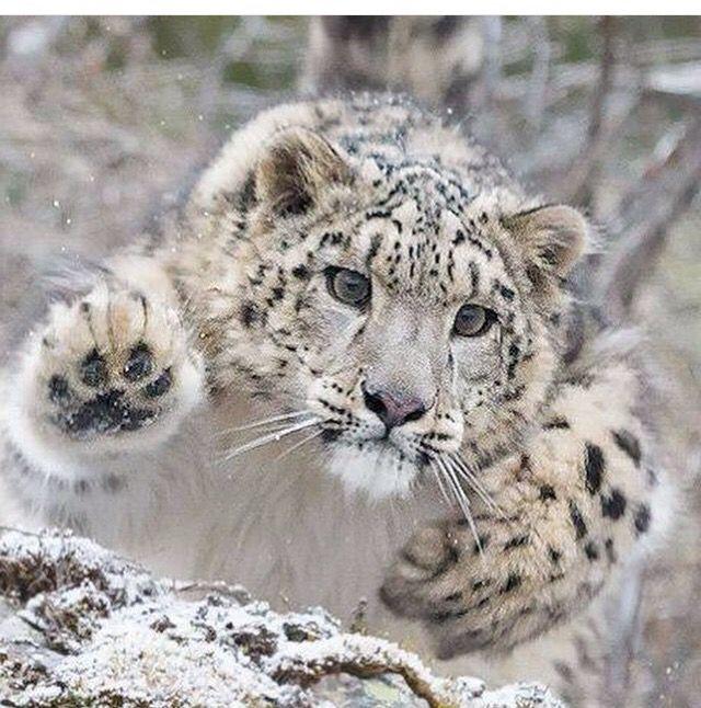 Pouncing snow leopard
