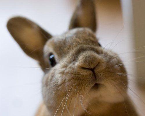 Bunny!: Rabbit, Furries Attitude, Bunnies Cheek, Bananas, Bunnies Face, Adorable Bunnies, Bunnies Luv, Animal, Cutie Bunnies