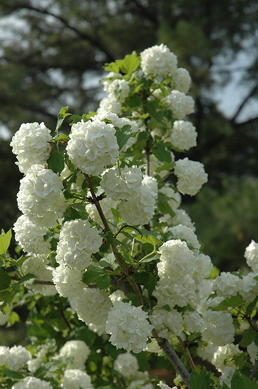 Click to view full-size photo of Snowball Viburnum (Viburnum opulus 'Roseum') at Stein Gardens & Gifts
