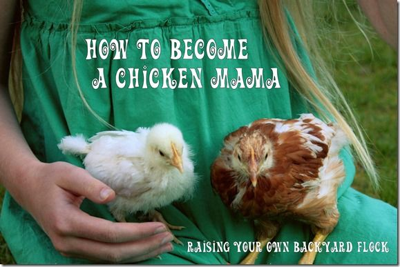 How to become a Chicken Mama