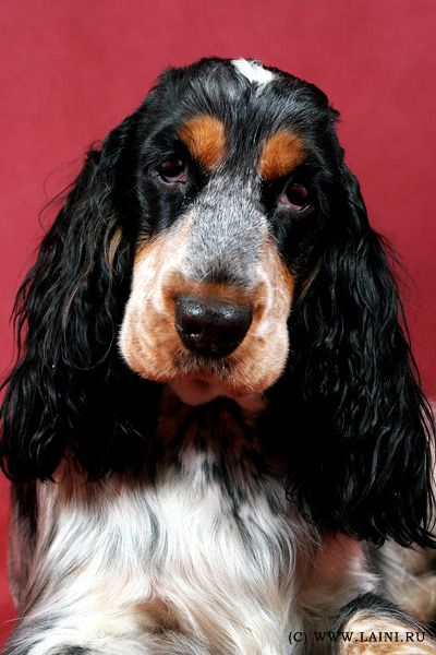 """Click visit site and Check out Best """"English Cocker Spaniel"""" T-shirts. This website is outstanding. Tip: You can search """"your name"""" or """"your favorite shirts"""" at search bar on the top."""