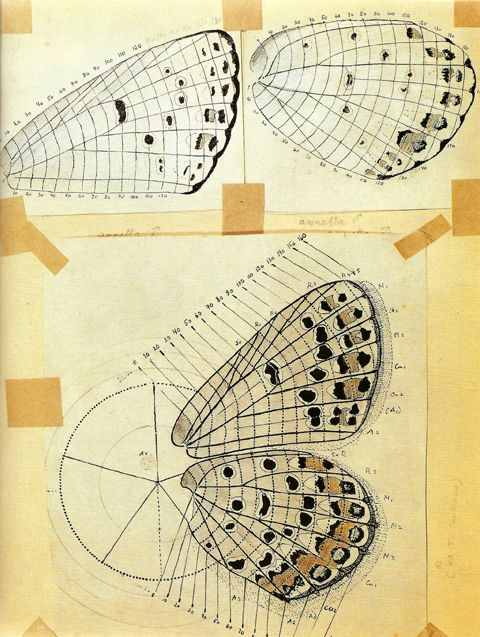 """Nabokov's drawing of a heavily spotted Melissa Blue, overlaid with the scale-row classification system he developed for mapping individual markings."""