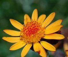 Arnica Planta medicinal antiinflamatória utilizada em uso externo, em caso de contusões ou hematomas, é apresentada em forma de pomada. Arnica (Arnica montana)