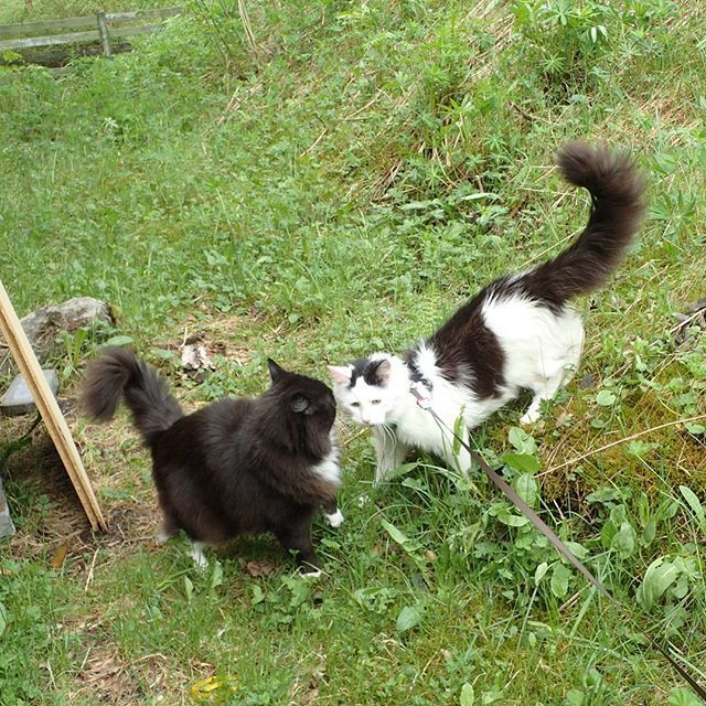It's nice to have your big brother with you on your first trek in the grass! Zimba is not on a leash, but he never goes far. #catpasity #caturdayeveryday #cat #cute #cats #catsofinstagram #catstagram