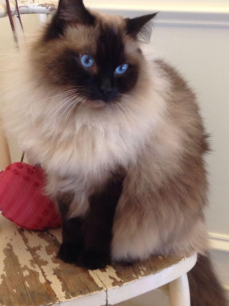 Lovely Ragdoll #cats #ragdoll #ragdollcatcolorpoint