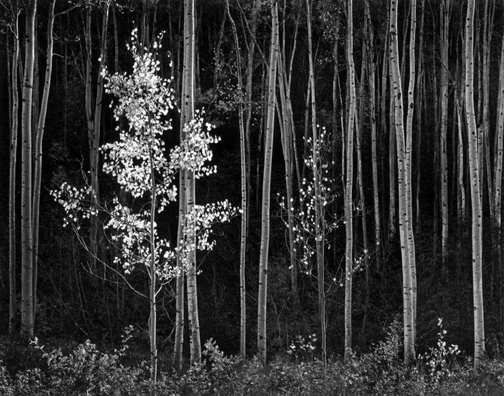 One standing out from the rest. Skinny forest. Photograph by Ansel Adams