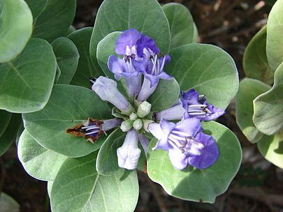 Název: Drmek okrouhlolistý Latin. název: Vitex rotundifolia Čeleď: hluchavkovité Latin. čeleď: Lamiaceae