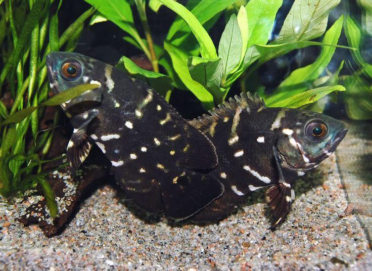 228 best images about freshwater aquaria on pinterest for Rare aquarium fish
