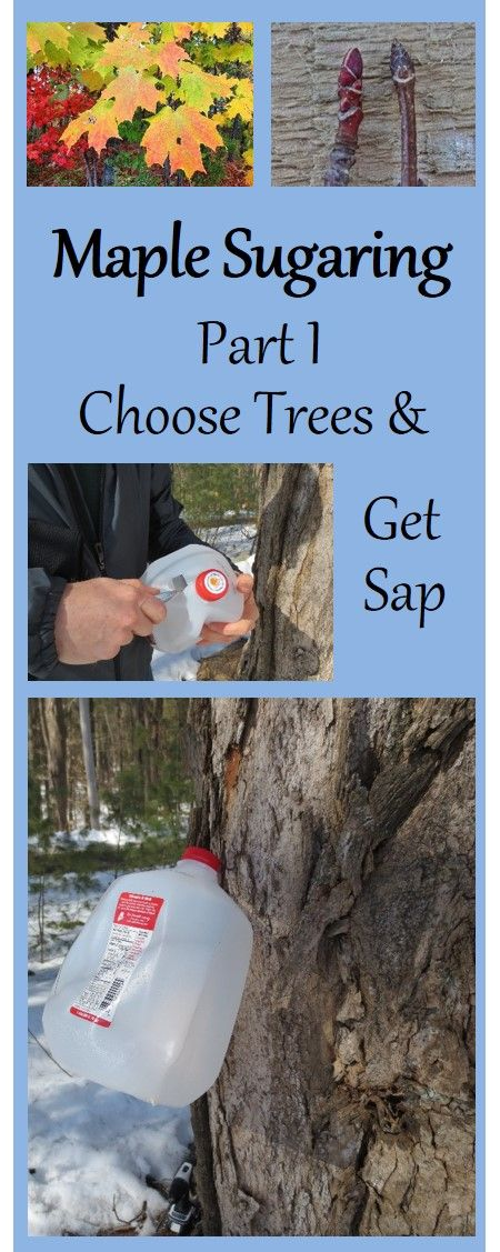 Make your own maple syrup! Part I explains how to select trees, including winter bud identification of sugar maple vs. red maple. Also explains how to collect sap.