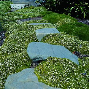 Use Chamomile to form a soft textured evergreen mat of araomatic leaves in bright, light green.  Stems root as they spread, forming a solid cover. Small yellow flowers appear in summer. space 1 foot apart.