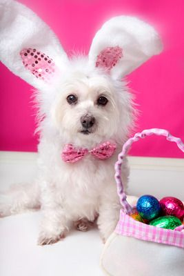 cute dog picture of a white dog wearing bunny ears and sitting next to a basket of Easter eggs