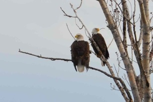 Bald eagles (rarely spotted in pairs) at our Feuille D'or vineyard. Photo by Leyton McKinnon #Eagles #Nature