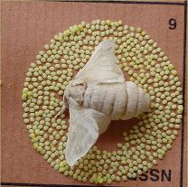 A laying -mass of eggs (500 to 600 ) laid by a silkmoth.