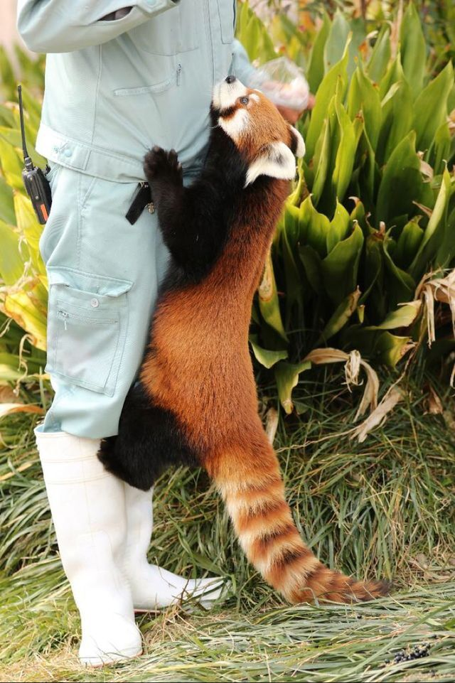 Red panda.      For more great pins go to @KaseyBelleFox
