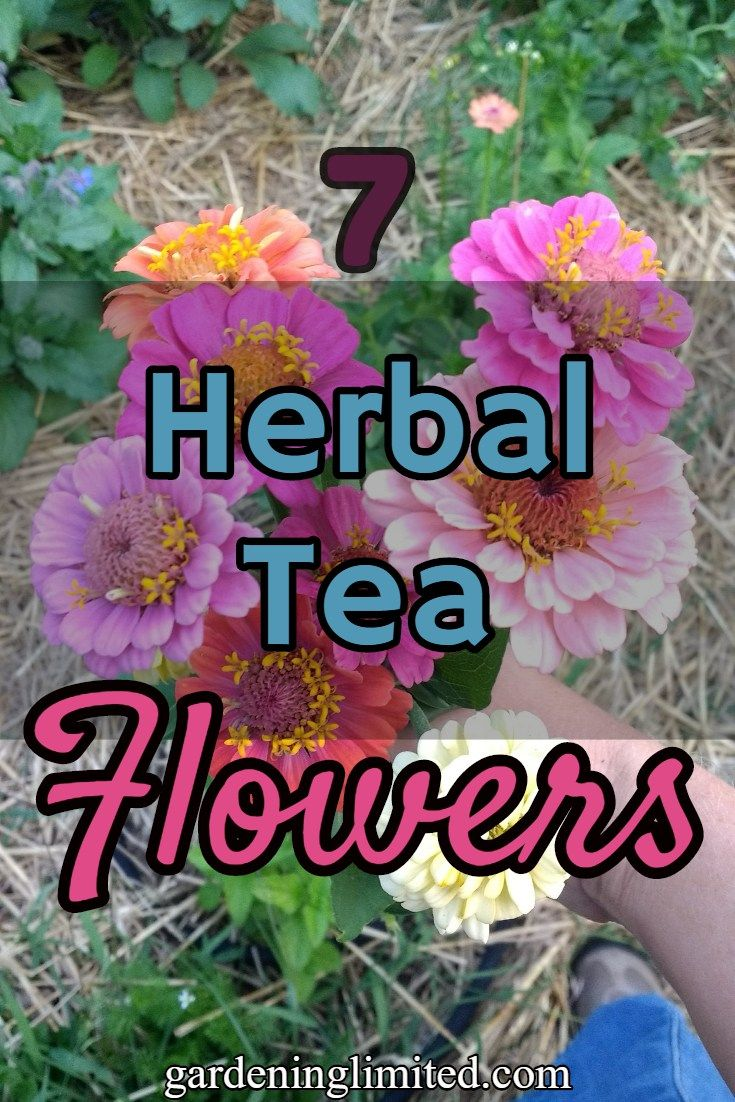 Want to know what kind of flowers you can use to make herbal teas with? This article, from guest blogger CeAnne Kosel of St. Fiacre's Farm, gives information on 7 herbal tea flowers! #herbal #flowers #blog