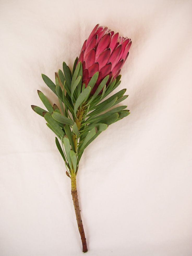 Protea-I really like these flowers!!