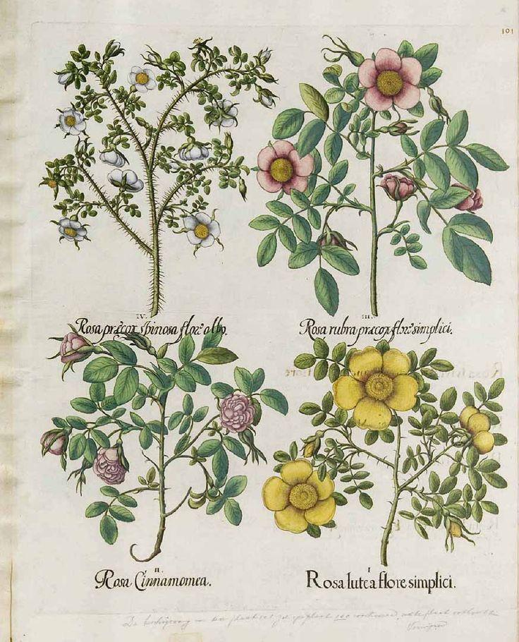 Rosa gallica L. [as Rosa rubra praecox flore simplici]  1640