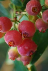 Pink Lemonade Blueberry mid to late season Berries reddish pink when fully ripe, sweet productive medium size Bushes grow 4-5' tall leaves turn pretty yellow/orange in fall Spring blooms white winter twig color is red, giving you interesting color in all seasons USDA Zones 5-9 relative of the cranberry