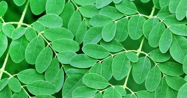 Scientists have reported that a hot-water extract of the leaves of Moringa Oleifera killed up to 97% of human pancreatic cancer cells (Panc-1) after 72 hours in lab tests. Moringa leaf extract inhibited the growth of [read more] https://www.pinterest.com/pin/377809856223555431 | #moringa