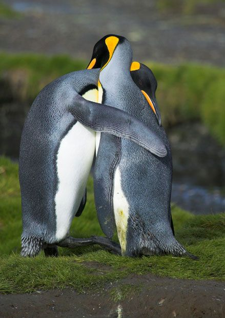 Aww.. King penguins hugging in courtship in South Georgia Picture: Nature Picture Library / Rex Features