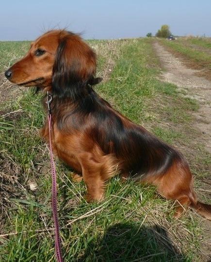Stroodle Dog Breed