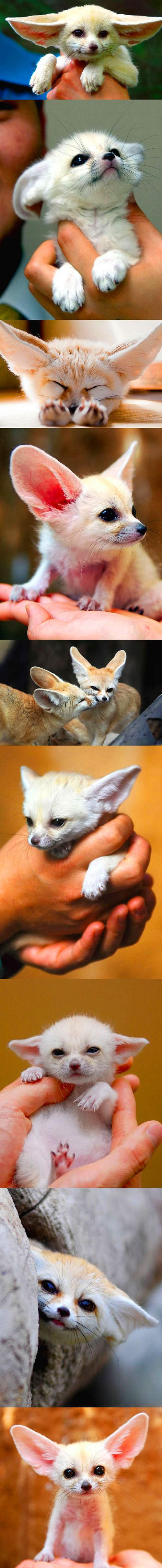 Fennec Fox Pups.