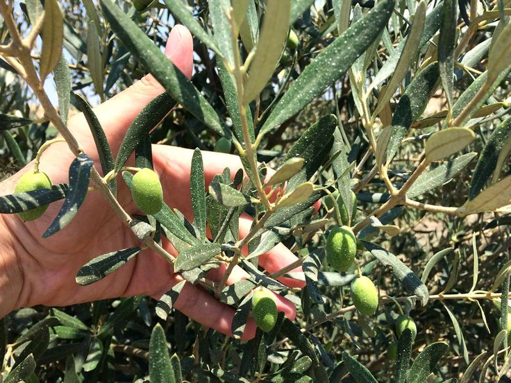 Ψεκασμός ζεόλιθου και ενδεικτικά αποτελέσματα εφαρμογής σε βιολογικά ελαιόδεντρα στο Μεσημέρι Θεσσαλονίκης | Ζεόλιθος | Zeolife.gr