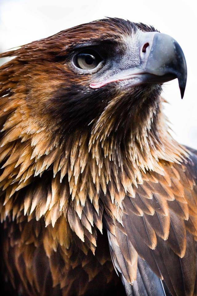 Wedge-tailed Eagle ♡ – #australian #Eagle #Wedge… – #australian #Eagle