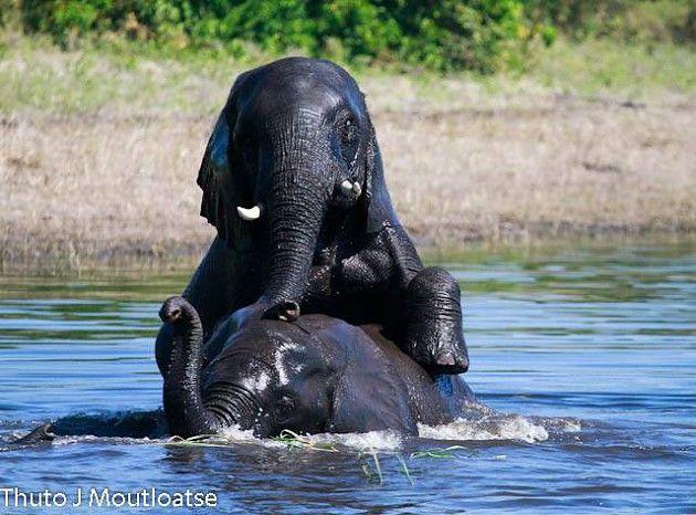 Playful young elephants in Botswana's Linyanti