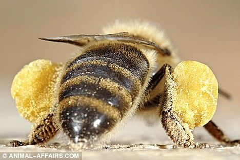 Bees Carry Pollen In Bags On Their Legs & Can Carry Up To Their Own Body Weight