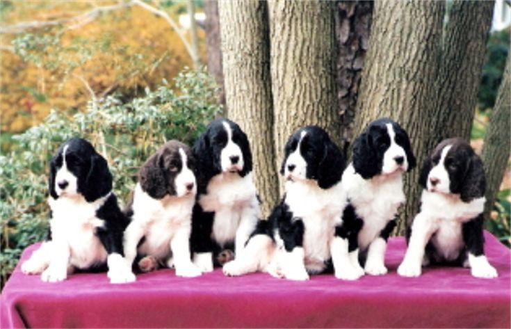 Springer Spaniel Spread!