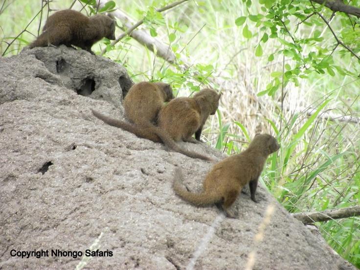 Dwarf mongoose 4