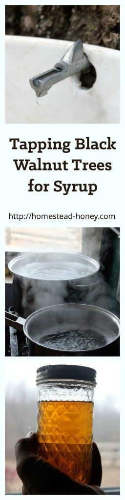 Did you know that you can tap your backyard black walnut trees to make delicious syrup? Learn how we tap the trees on our homestead, and boil it down for syrup. | Homestead Honey