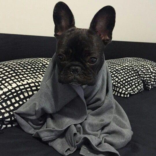 French Bulldog Dog Breed Information - Vetstreet