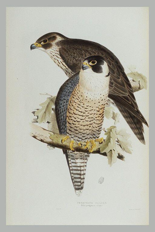 Faucon pelerin - Peregrine Falcon, Falco peregrinus