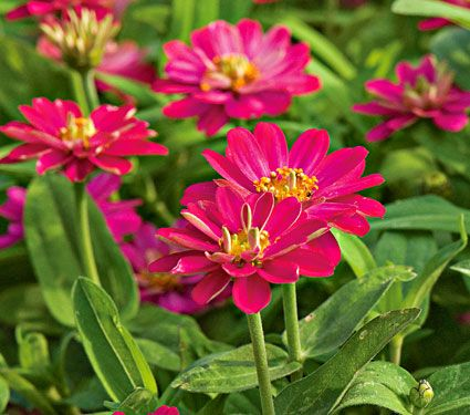 Zinnia Double Zahara Cherry-planting a virtual pinterest garden